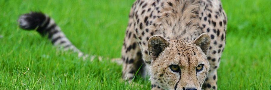 Гепард и его метод охоты