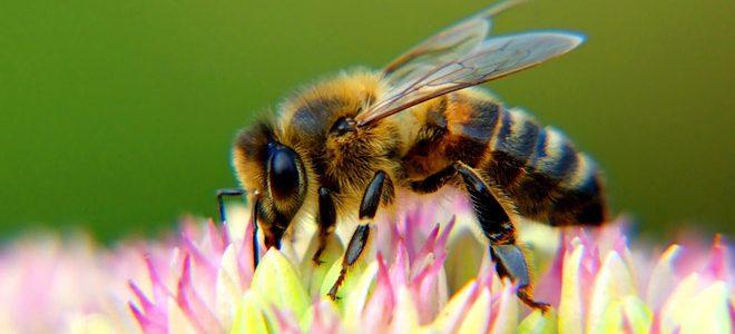 Одно из средств общения медоносных пчел в улье – танец