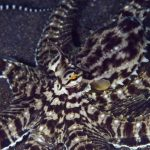 Мимический индонезийский осьминог — актер в животном мире