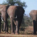Как же общаются эти удивительные животные – слоны?