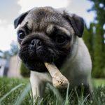Собаки умеют манипулировать людьми ради любимого лакомства