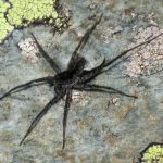 Ученые обнаружили новый вид паука-волка