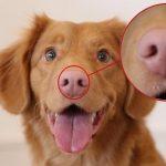 Собачий нос — особая примета