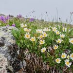 В арктическом Заполярье появились ромашки иодуванчики