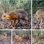 Вьетнамского оленя-мышь заметили впервые за30 лет