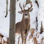 ВСША сфотографировали редкого трехрогого оленя