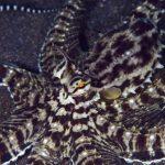 Мимический индонезийский осьминог – актер в животном мире