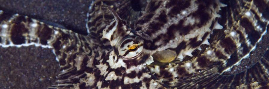 Мимический индонезийский осьминог - актер в животном мире