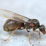 ВМинске полчища крылатых муравьев: откуда они взялись истоитли ихбояться