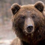 ВРоссии медведь украл покойника измогилы