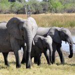 Вот что случится сатмосферой, если исчезнут слоны