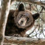 Американская полиция сиренами загнала медведя надерево