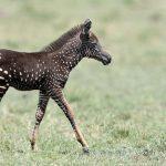 В Кении засняли редкую зебру
