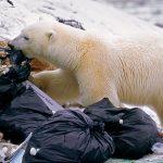 Белые медведи объелись пластика вАрктике