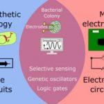 Созданы специальные совместимые с микроэлектроникой бактерии, способные стать элементами биологических микропроцессоров